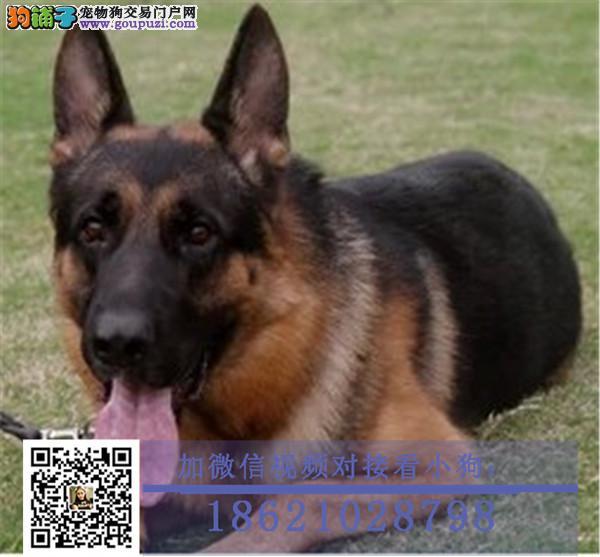 上海犬舍繁殖精品柯基一杜高一阿拉斯加犬一秋田犬