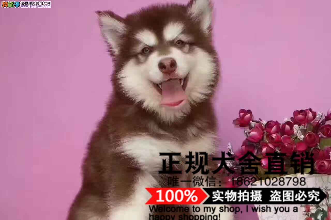 犬舍繁殖精品纯种比熊,泰迪,阿拉,拉拉,柴犬