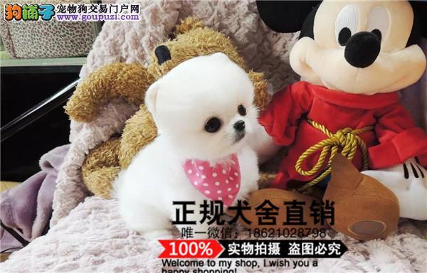 上海纯种活泼可爱哈多利版最小球体博美出售