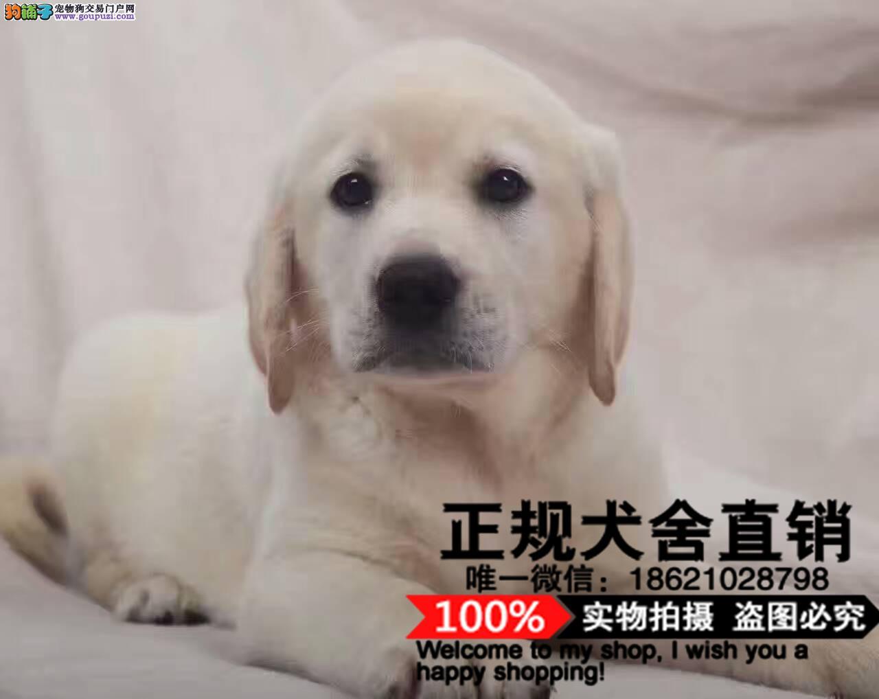 基地直销极品拉布拉多幼犬保健康保纯种签售后协议