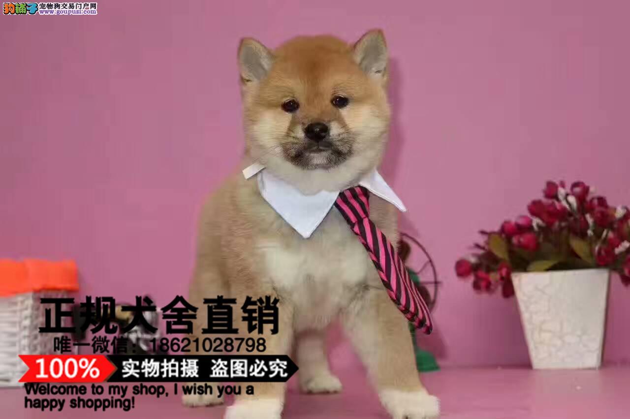 精品柴犬赛级犬证书芯片齐全签订协议保证纯种健康