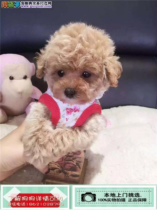 杭州纯种赛级茶杯泰迪犬红色泰迪幼犬出售玩具泰迪带证