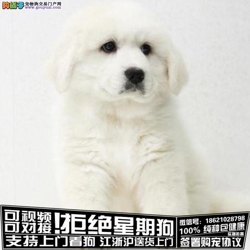 杭州纯种大白熊幼犬是很迷人 小狗很活泼 也很乖巧