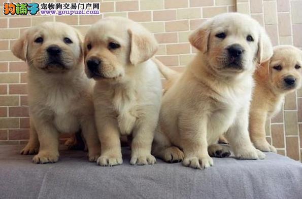 盛诚犬业十多年的繁殖经验 纯种拉布拉多 同城免费送狗