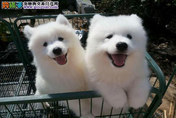 盛诚犬业十多年的繁殖经验 纯种萨摩耶犬 同城免费送狗