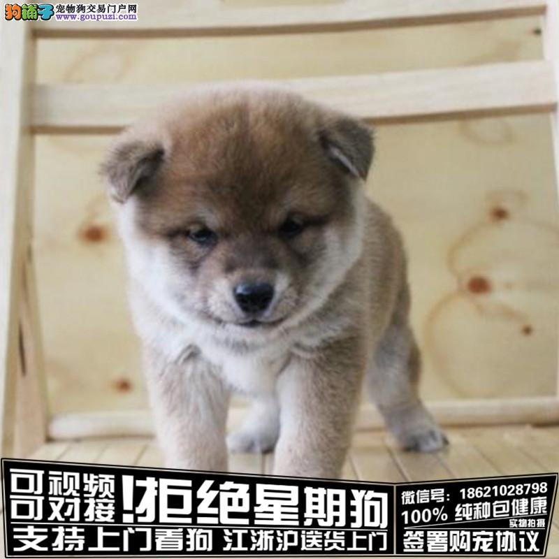 赛级品质纯血统柴犬出售保健康疫苗驱虫签订协议