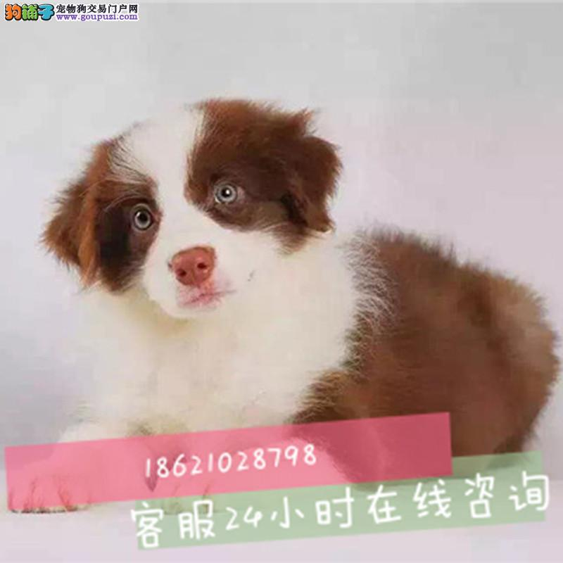 纯种健康犬舍直销一萌宠幼犬包健康包纯种包售后