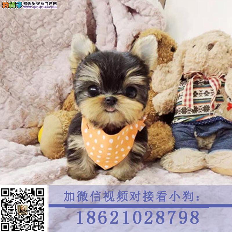 纯种可爱的约克夏幼犬宝宝出售 品质可靠 疫苗齐全
