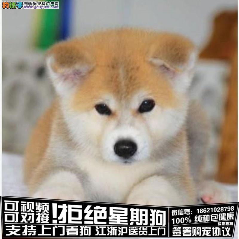 聪明,忠诚的纯秋田犬幼犬疫苗齐全,血统健康有保障