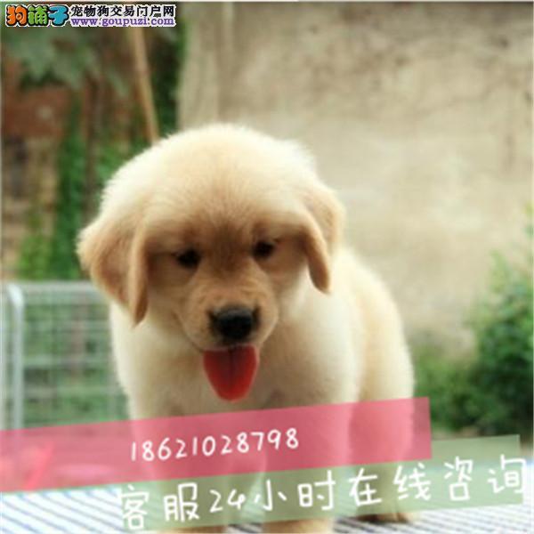 江苏温顺热情的伴侣犬金毛宝宝出售可协议保健康保品质