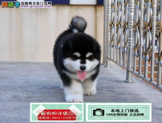 江苏专业繁殖纯种阿拉斯加雪橇犬巨型阿拉斯加幼犬