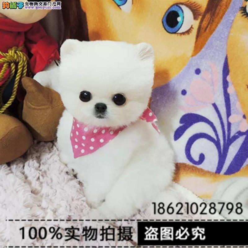 浙江纯种活泼可爱哈多利版最小球体博美出售欢迎来挑选