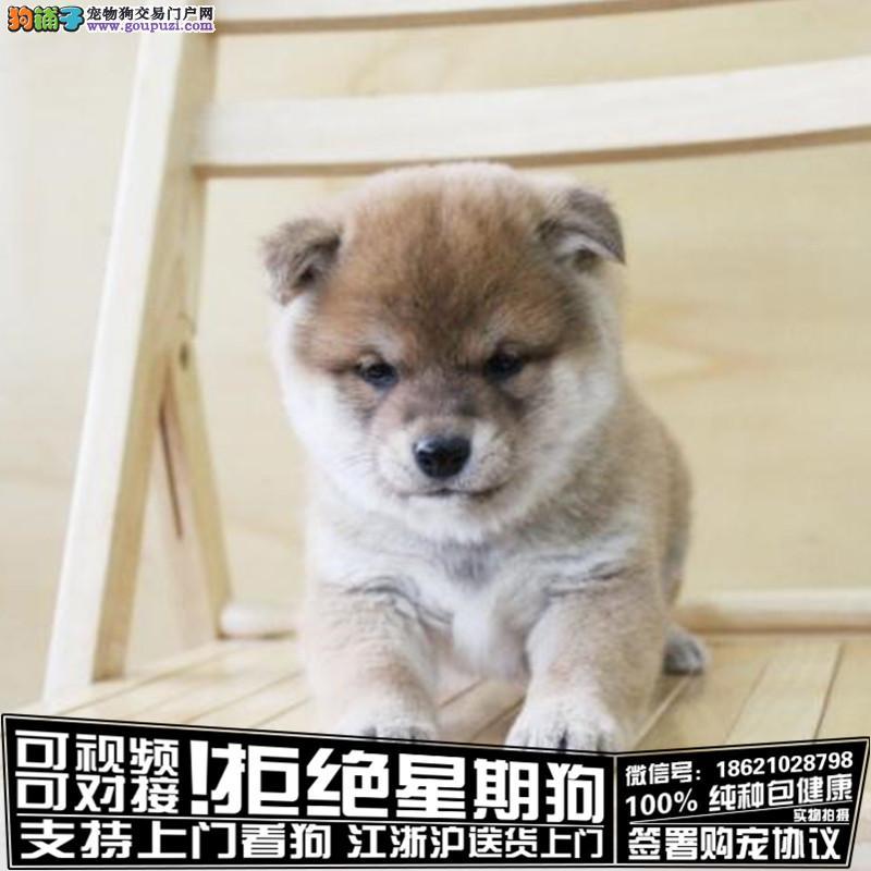 聪明可爱的柴犬CKU认证 疫苗驱虫齐全健康纯种