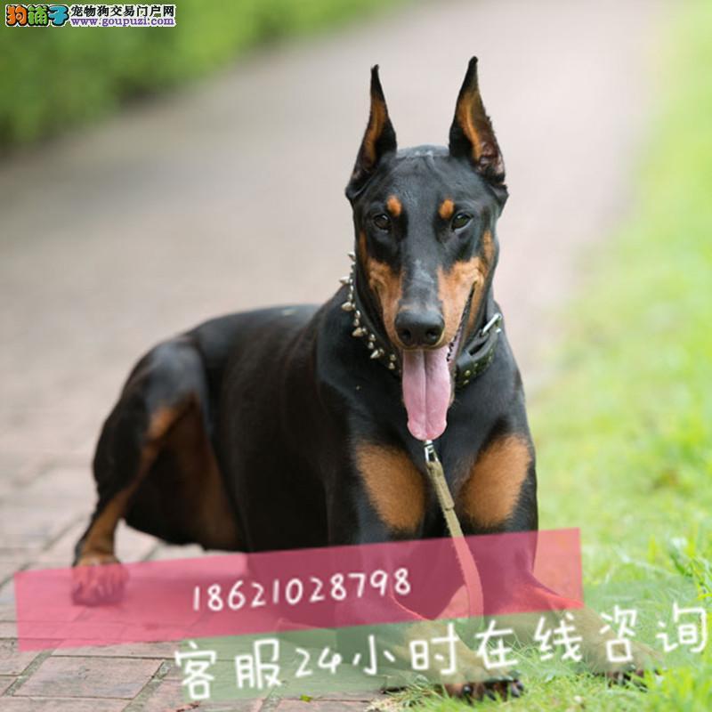 犬舍繁殖精品纯种比熊,泰迪,阿拉,拉布拉多犬