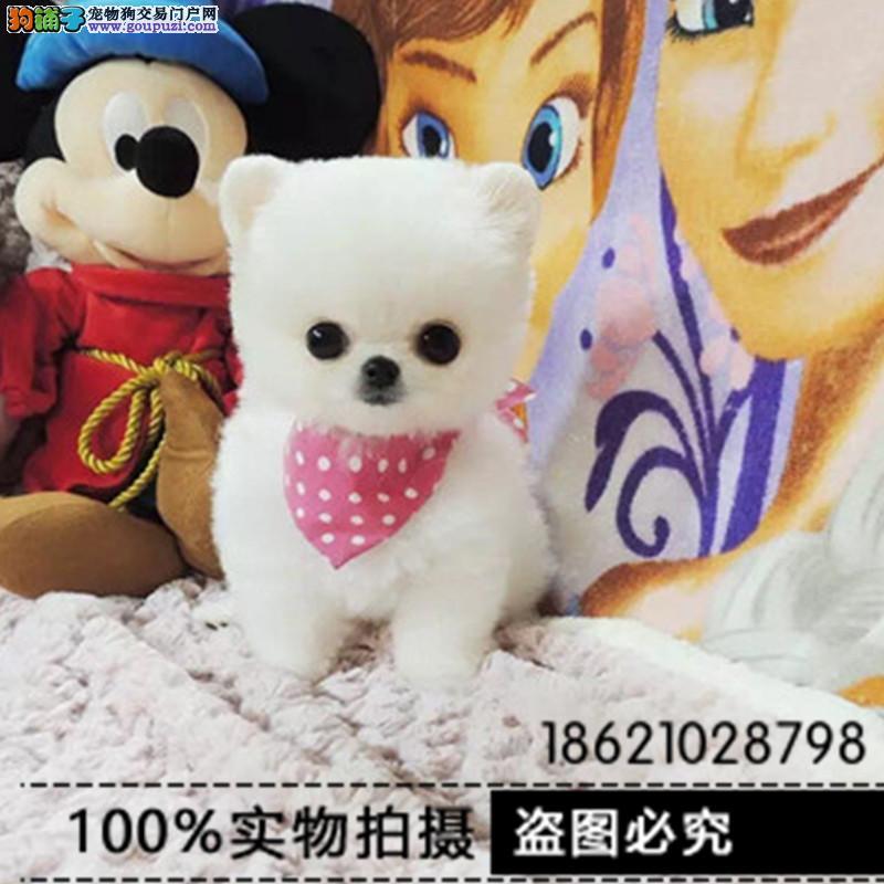 江苏犬舍专业繁殖出售聪明博美等大众精品幼犬欢迎选购