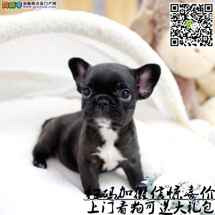 上海哪里有法国斗牛犬卖?法斗多少钱一只?