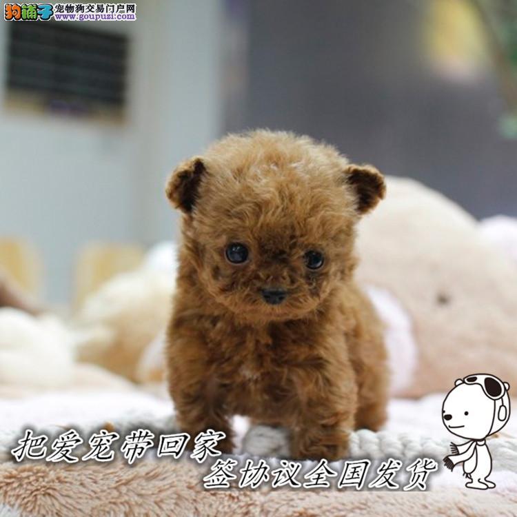 上海基地出售泰迪超小体幼犬 可以签协议可上门