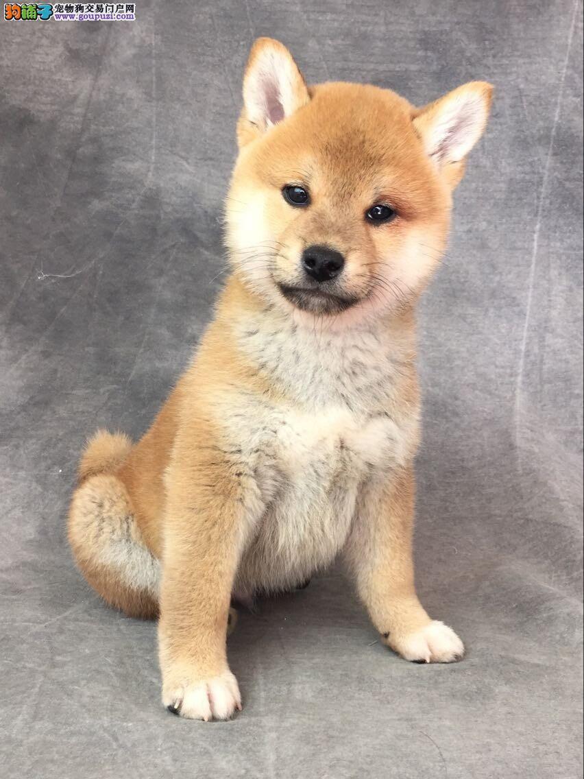 西安知名犬舍出售多只赛级柴犬加微信送用品