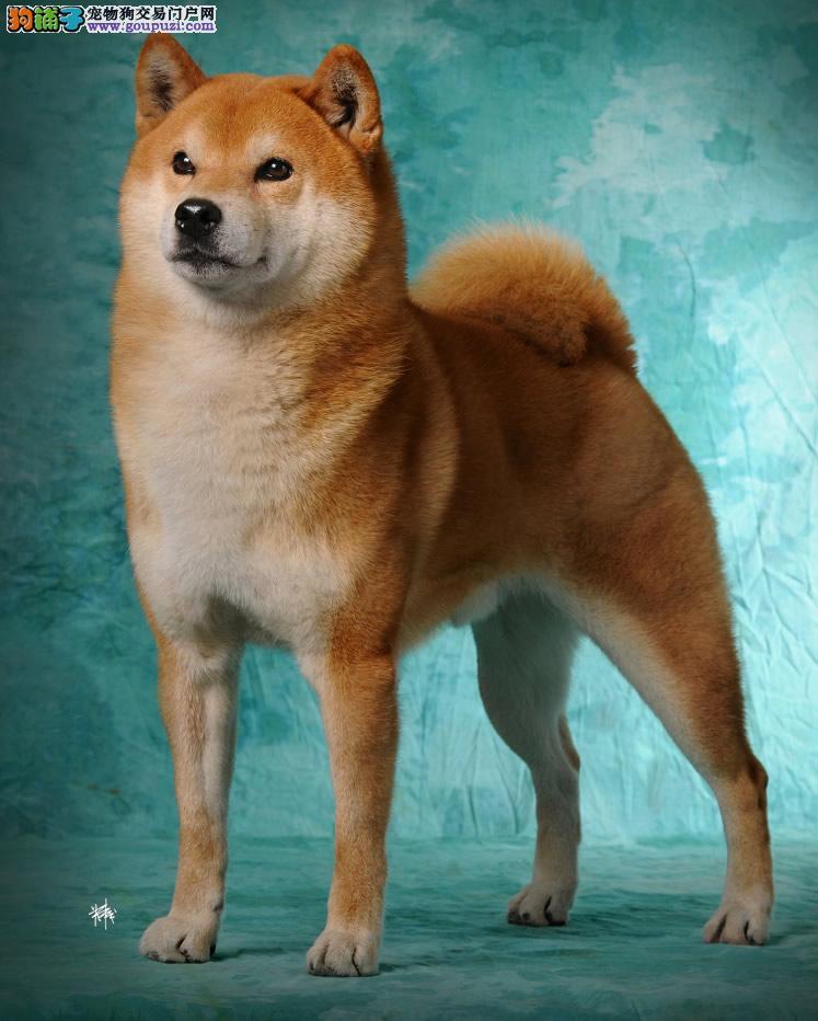 正规狗场出售纯正品质柴犬 疫苗齐全 保证纯种健康