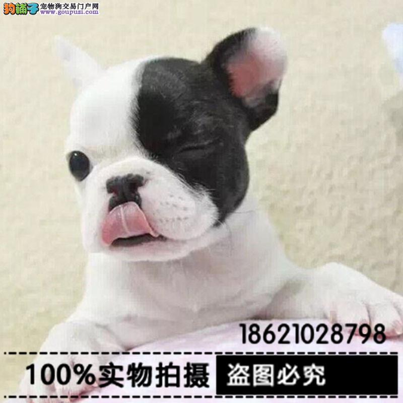 出售纯种赛级法国斗牛犬 保证品质健康 颜色齐全