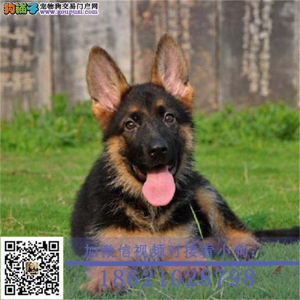 聪明活泼德牧幼犬出售血统纯正保健康专业繁殖