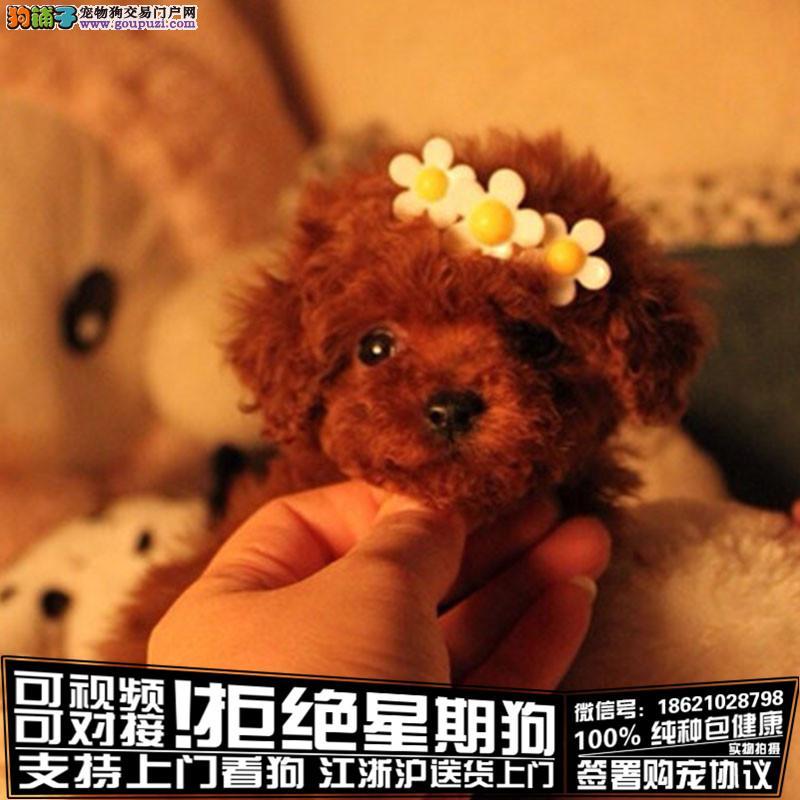 专业繁殖玩具泰迪熊纯种血统完美体型可爱之至
