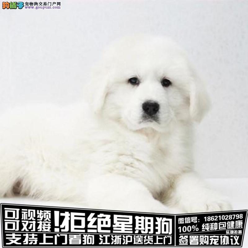 纯血统繁殖超大骨量赛级双冠大白熊幼犬出售签协议