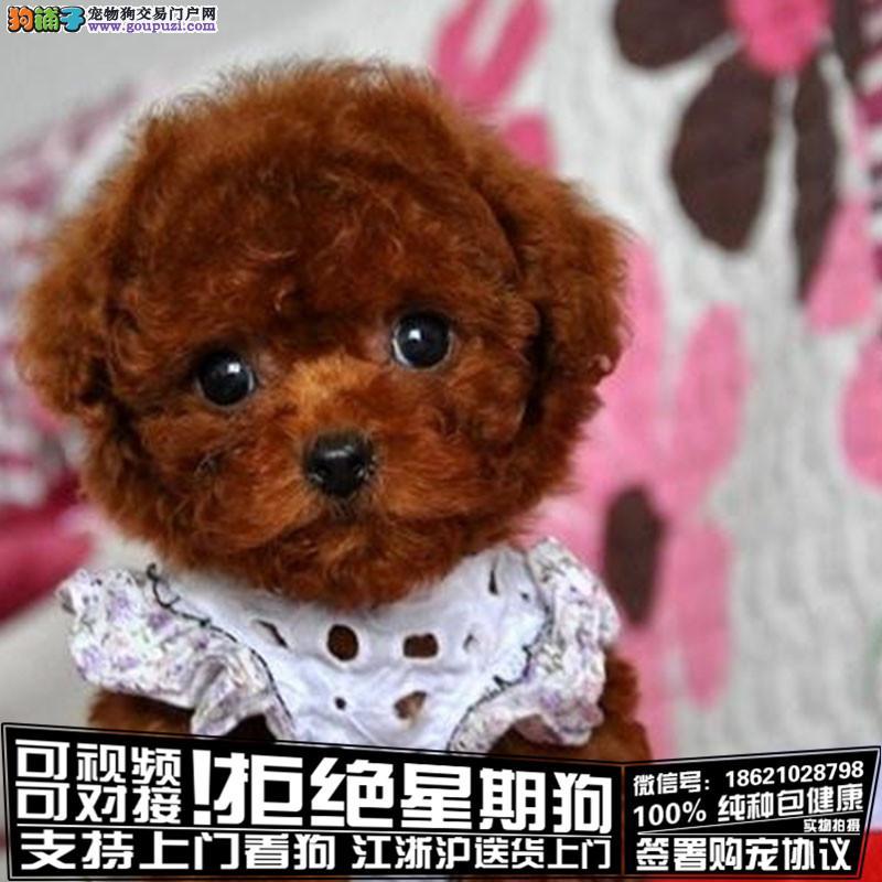浙江纯种赛级茶杯泰迪犬红色泰迪幼犬出售玩具泰迪带证