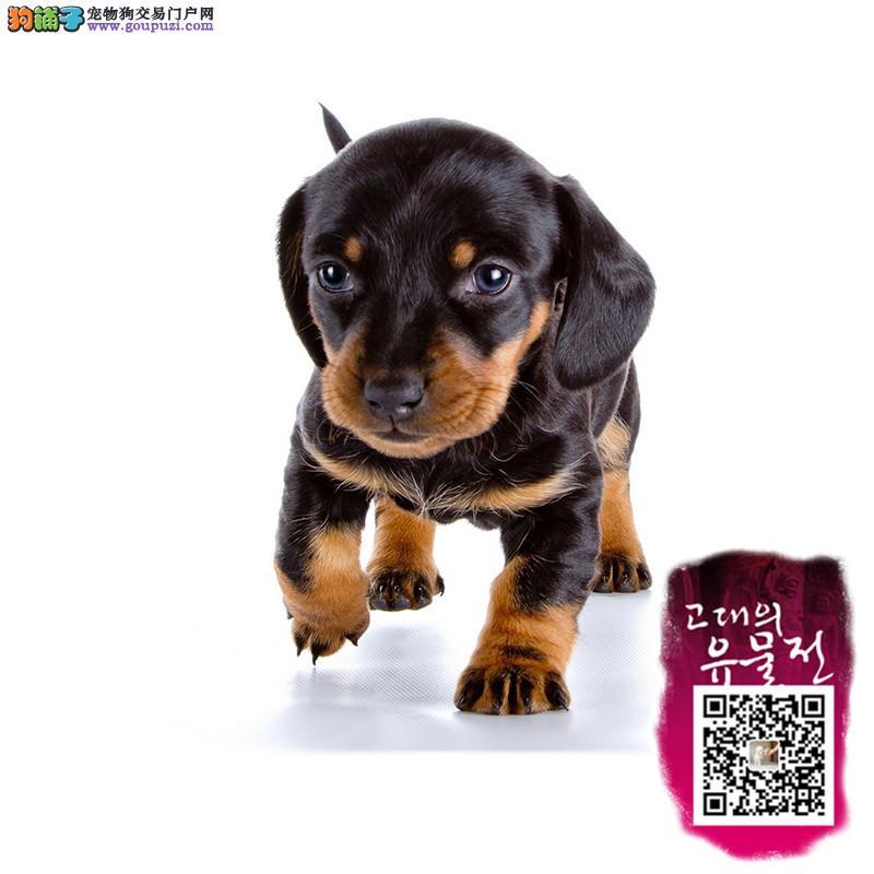 CKU犬业专业繁殖纯种俄系腊肠公母全三针齐保纯种