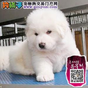 巨型犬大白熊狗狗出售 多只选 健康