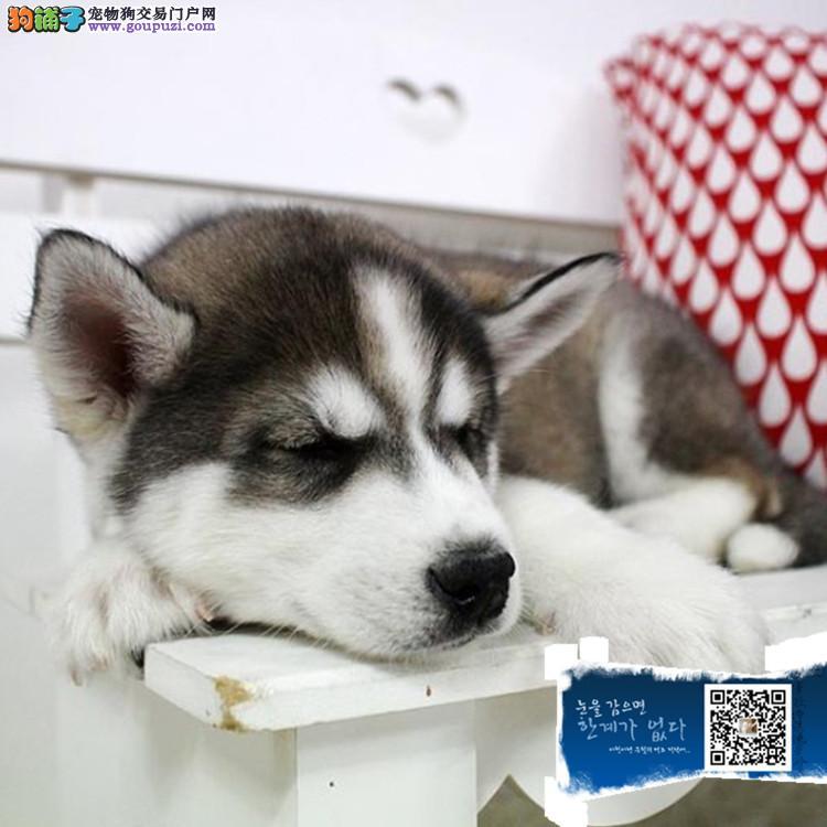 业犬舍出售哈士奇犬 纯种赛级西伯利亚雪橇犬