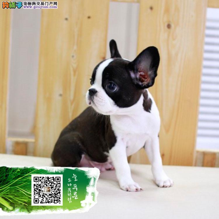苏州纯种法国斗牛犬 CKU认证犬舍直销 多只可以选择