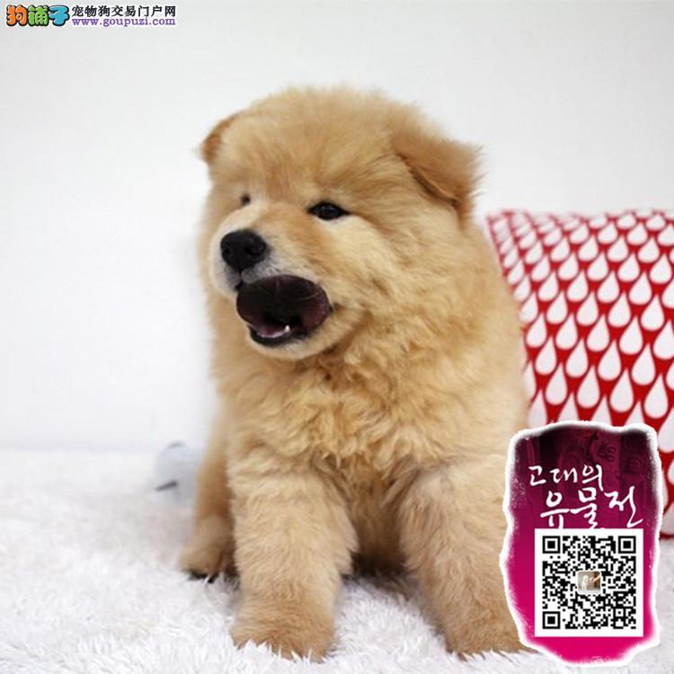 苏州高品质松狮幼犬 毛量爆好 纯种肉嘴松狮幼犬