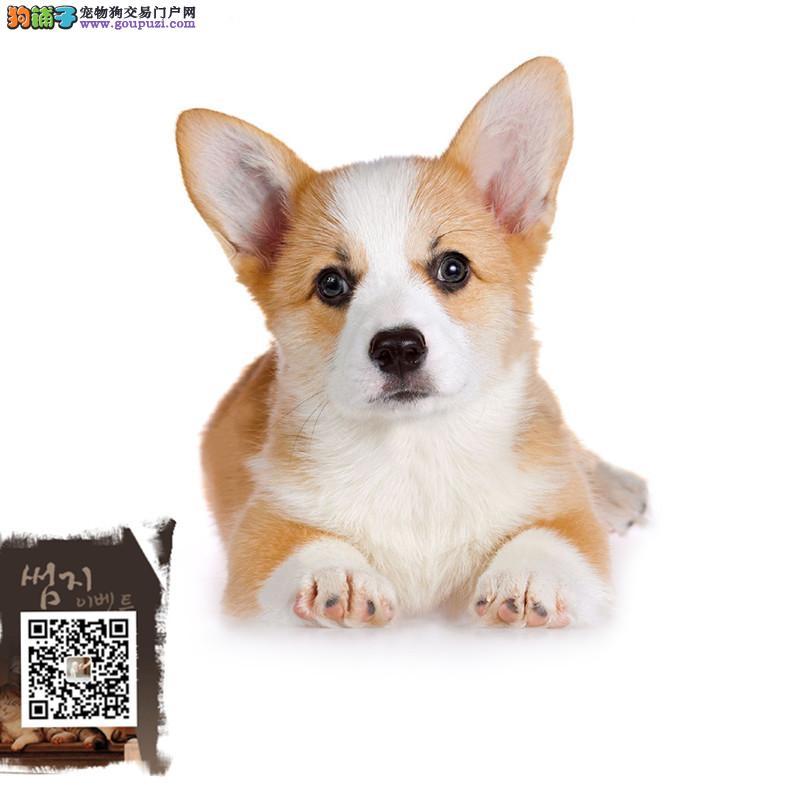 江苏纯种威尔士柯基幼犬 包售后保纯种 上门可签订协议