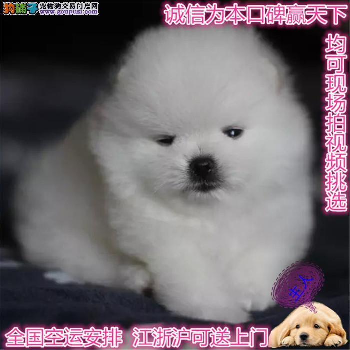 纯种哈多利版球体博美幼犬 肩高不超18厘米不超过3斤