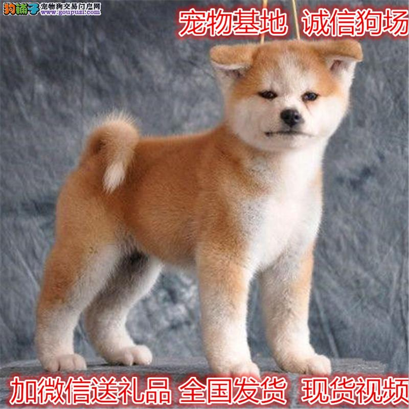 自家犬场繁殖秋田幼犬 包纯健康欢迎上门挑选