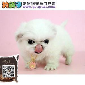 浙江纯种京巴幼犬是奥鼻子的小狗狗很活泼很老实的
