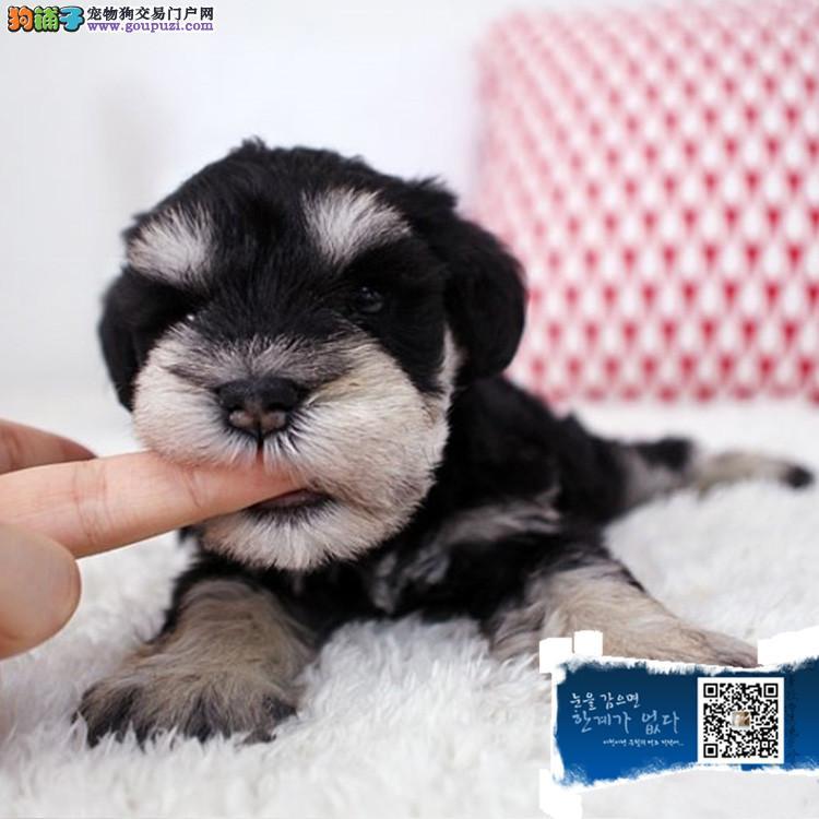 浙江出售纯种雪纳瑞犬一送用品一签协议一包养活
