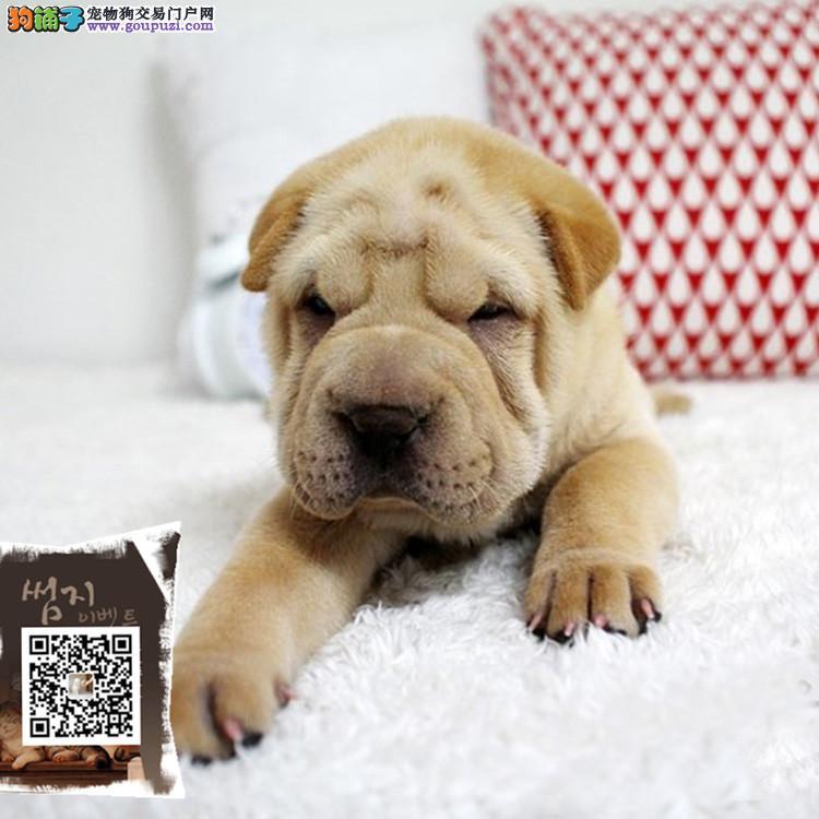 浙江出售沙皮宝宝 纯种美体沙皮 聪明可爱 健康活泼