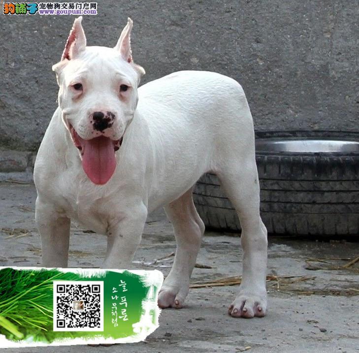 浙江杜高犬阿根廷纯种杜高犬出售杜高幼犬