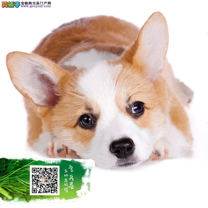 浙江精品柯基犬赛级犬证书芯片齐全可以签订协议