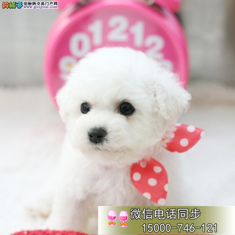 浙江圆脸蛋比熊 厚毛量棉花糖比熊宝宝 欢迎上门看狗