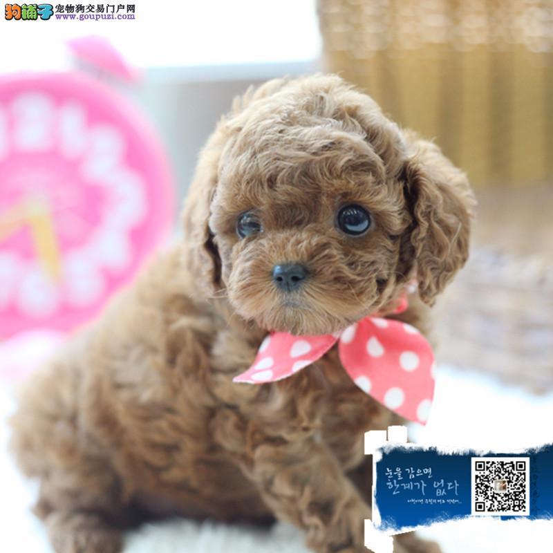浙江小小哒 萌萌哒 卷毛小体玩具泰迪 十分健康可爱