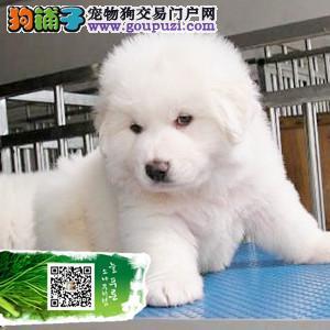 浙江纯种大白熊幼犬终身品质保障 品相极佳 保健康