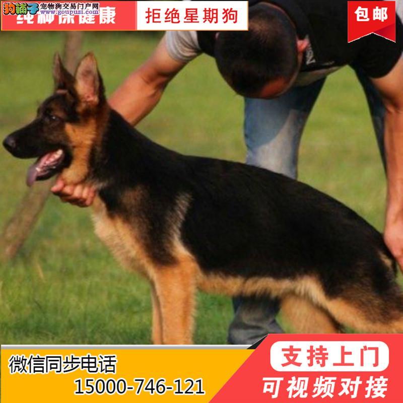 浙江出售纯种德国牧羊犬 签协议保健康 先体检