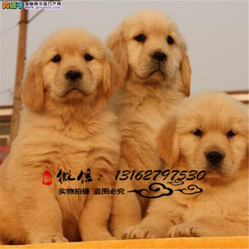 金毛犬纯种幼犬出售巡回猎犬品相好健康保证