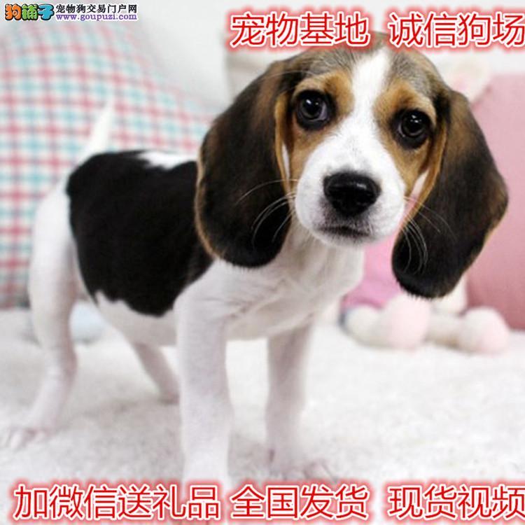 纯种高品质比格犬出售公母多只欢迎选购