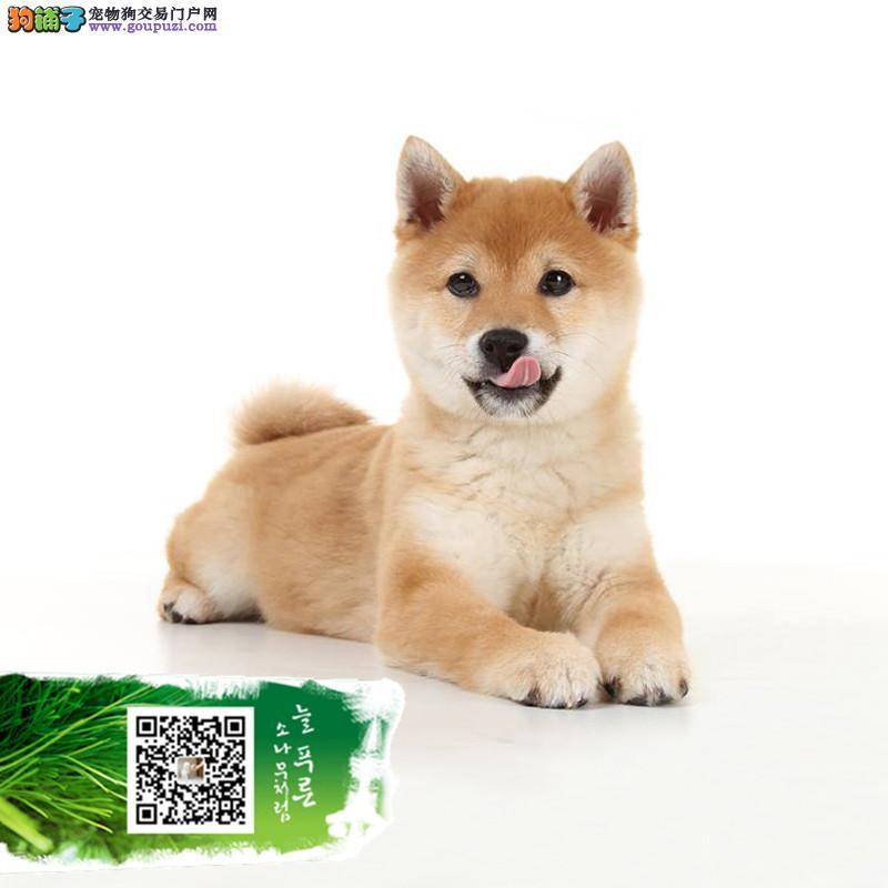聪明可爱的柴犬 CKU认证 疫苗驱虫齐全健康纯种