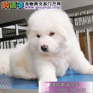 纯血统繁殖超大骨量赛级双冠大白熊幼犬出售