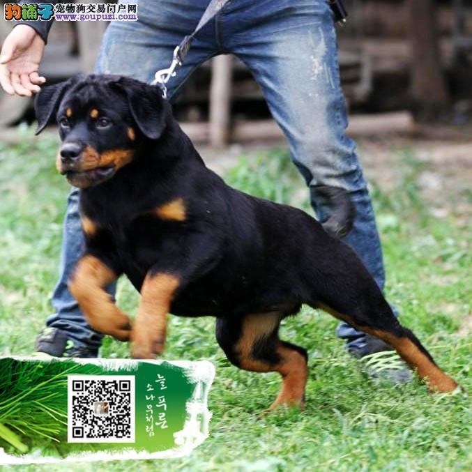CKU认证犬舍 专业繁殖纯种德系罗威纳幼犬 质保